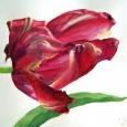 © Elizabeth Burin, Last Week's Tulip
